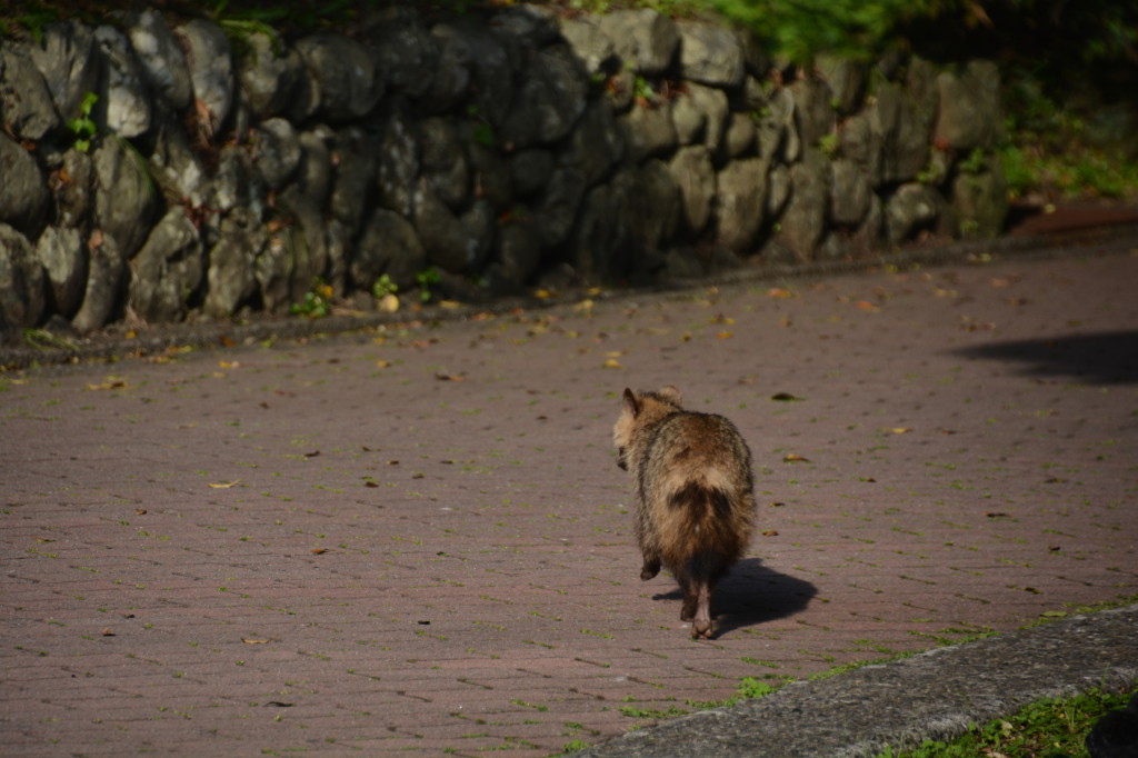 A raccoon dog. They say there is a lot of raccoon dogs in Kii Peninsula. But I saw a raccoon dog for the first time.