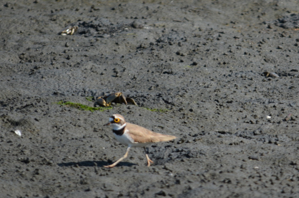 Little ringed plover. It runs very fast. It is difficult to take photos.