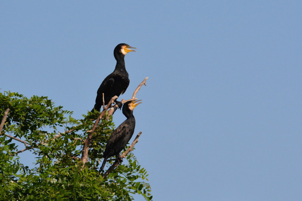 Two Japanese cormorans